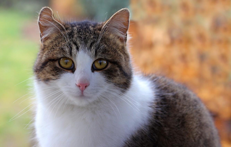 Фото обои кот, взгляд, пятнистый