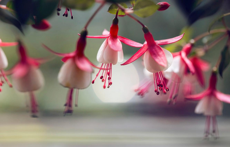 Фото обои макро, цветки, фуксия, Lee Peiling
