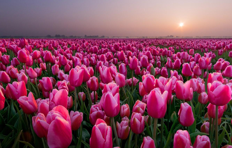 Фото обои поле, закат, тюльпаны, Нидерланды, бутоны, много