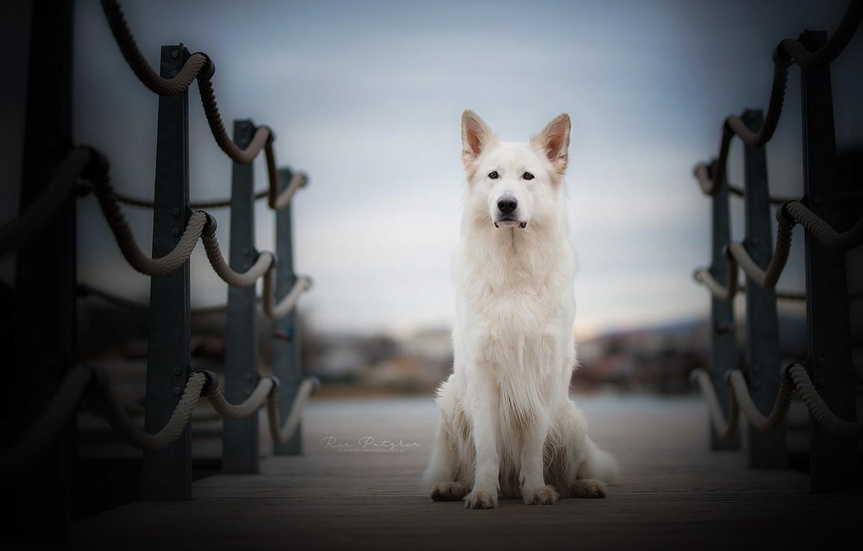 Фото обои мост, друг, собака