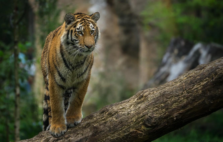 Фото обои тигр, хищник, бревно, детёныш, дикая кошка, позирует, молодой