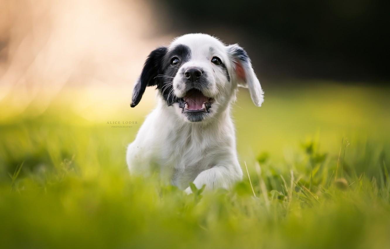 Фото обои трава, радость, настроение, щенок, прогулка, боке, пёсик, Кокер-спаниель