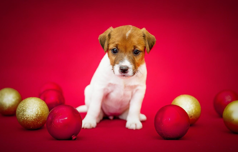 Фото обои фон, шары, собака, шерсть, щенок, окрас, порода