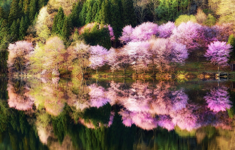 Фото обои лес, вода, отражения, деревья, природа, парк, цвет, Весна, Япония, сакура, посадка