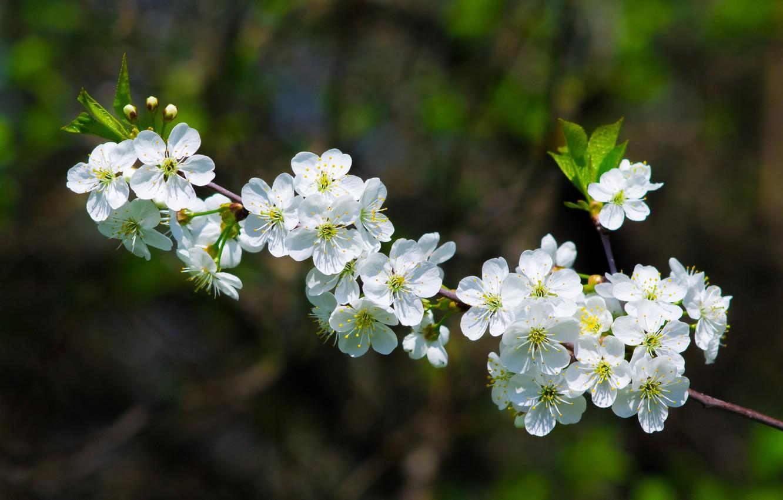 ветка цветущей вишни фото любят