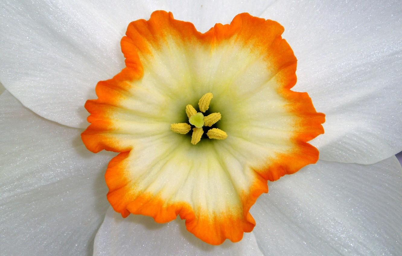 Фото обои цветок, макро, лепестки, тычинки, нарцисс