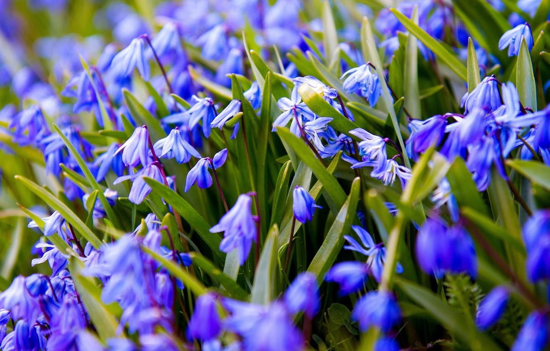 Фото обои цветы, синий, весна, подснежники, пролески