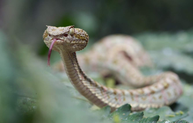 Фото обои змея, Bothriechis schlegelii, Eyelash viper