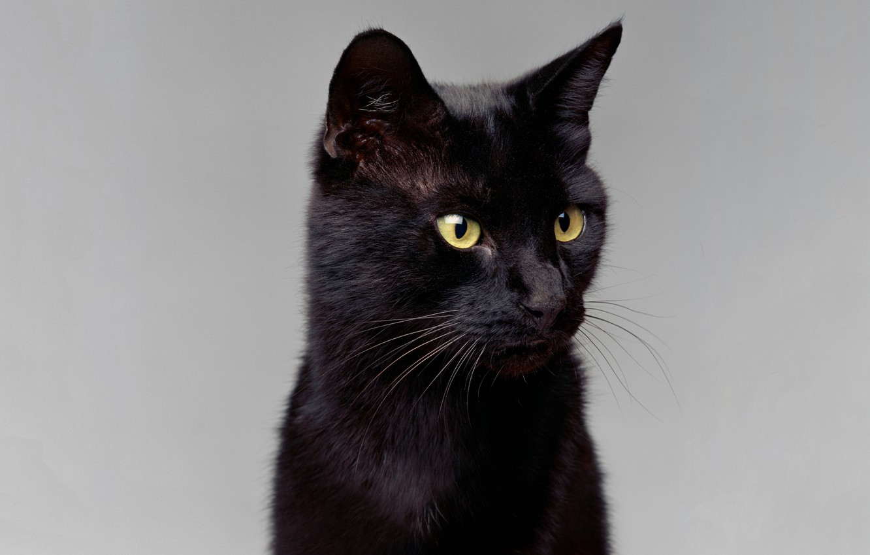 Фото обои кот, усы, взгляд, портрет, контраст, светлый фон, ушки, зеленые глаза, черный кошак, блеск шерсти