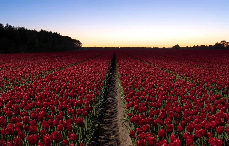 хотите маковые поля в голландии фото территории поселка
