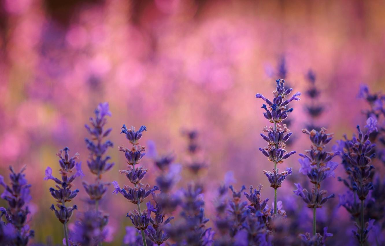 Фото обои поле, природа, растение, луг, лаванда