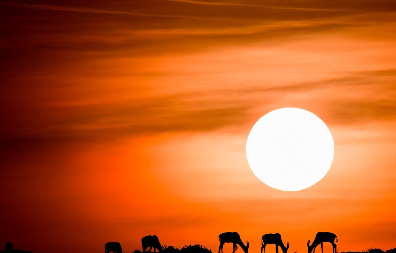 Фото обои небо, солнце, закат, силуэты, антилопы, антилопа топи