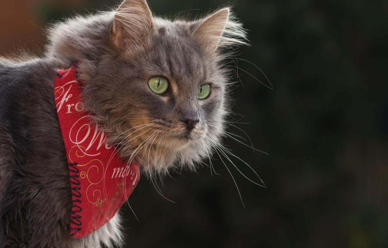 Фото обои кошка, кот, взгляд, фон, портрет, бандана