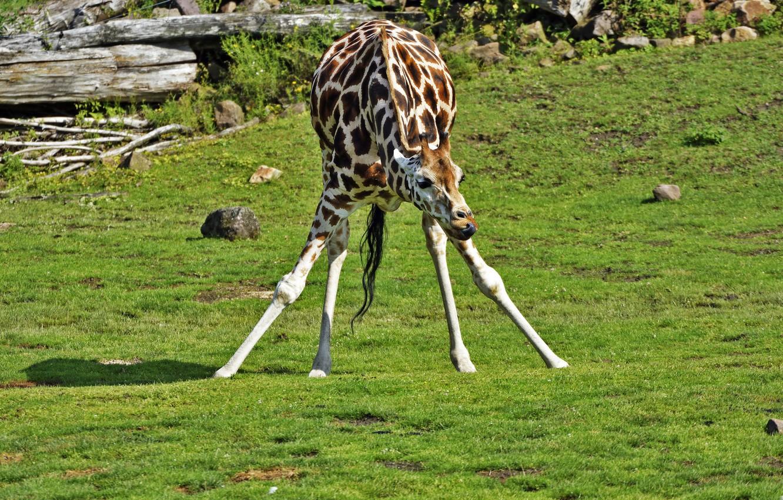 Фото обои природа, животное, жираф, окрас, шея