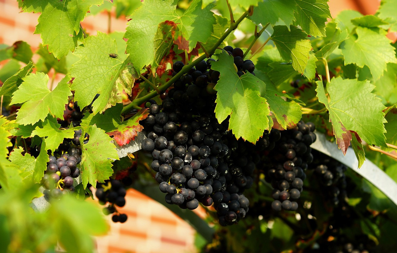 Фото обои листья, природа, виноград, виноградник, грозди винограда