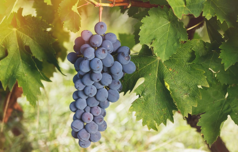 Картинка горсть винограда