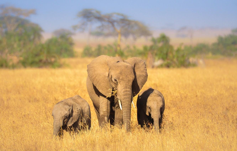 Фото обои природа, Африка, слоны