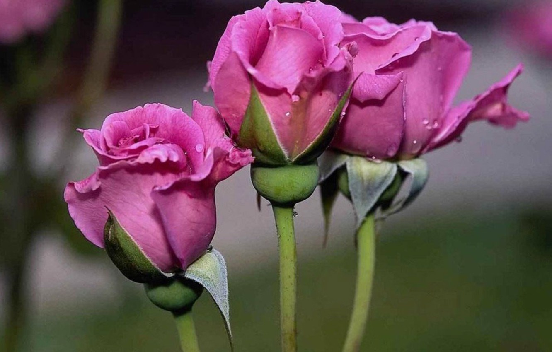 Фото обои розы, лепестки, бутон