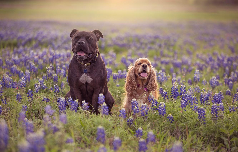 Обои собаки, люпины, цветы, Две собаки, луг. Собаки foto 6