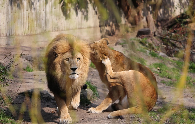 Фото обои Взгляд, Дикие кошки, Лев и Львица