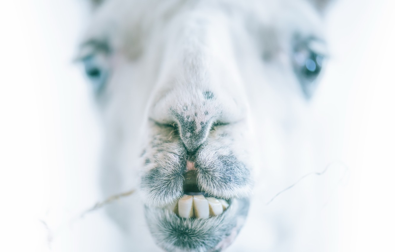 Фото обои морда, фон, верблюд