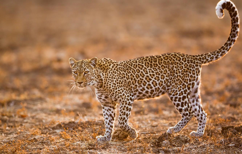 Фото обои леопард, дикая кошка, боке