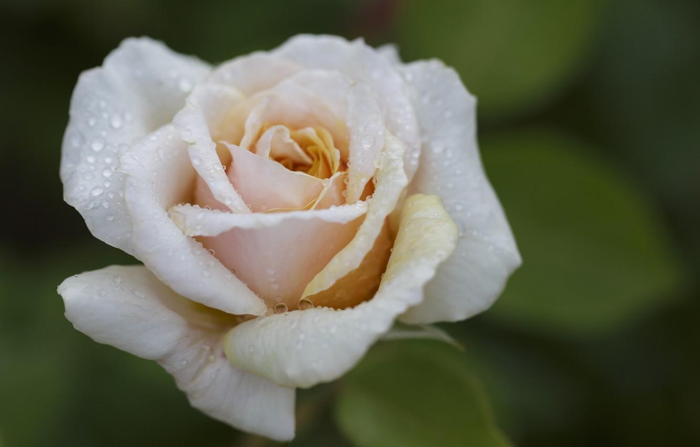 Фото обои капли, макро, роса, роза, бутон
