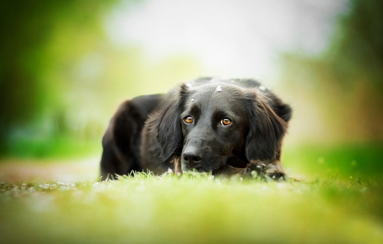 Фото обои собака, чёрная, травка, боке, The most beautiful eyes