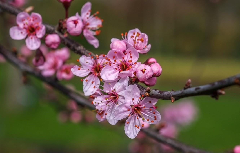 ветка цветущей вишни фото том