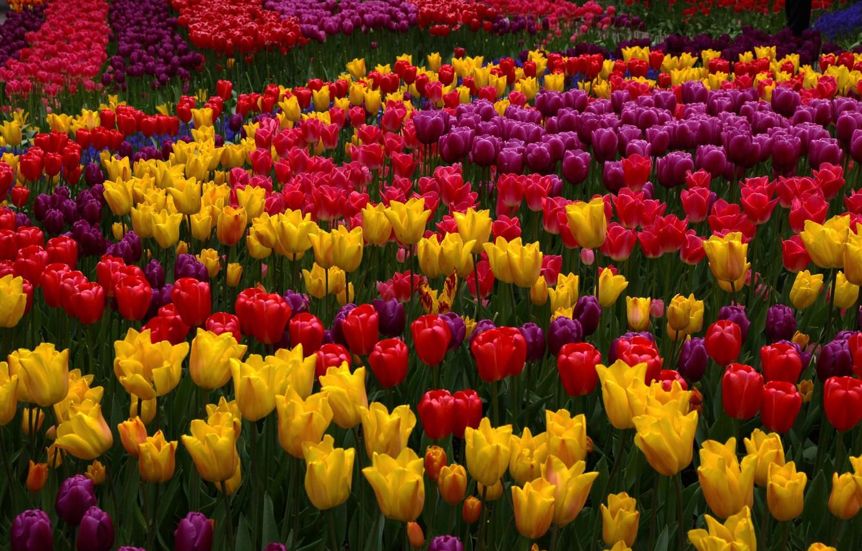 Красочные фото тюльпанов