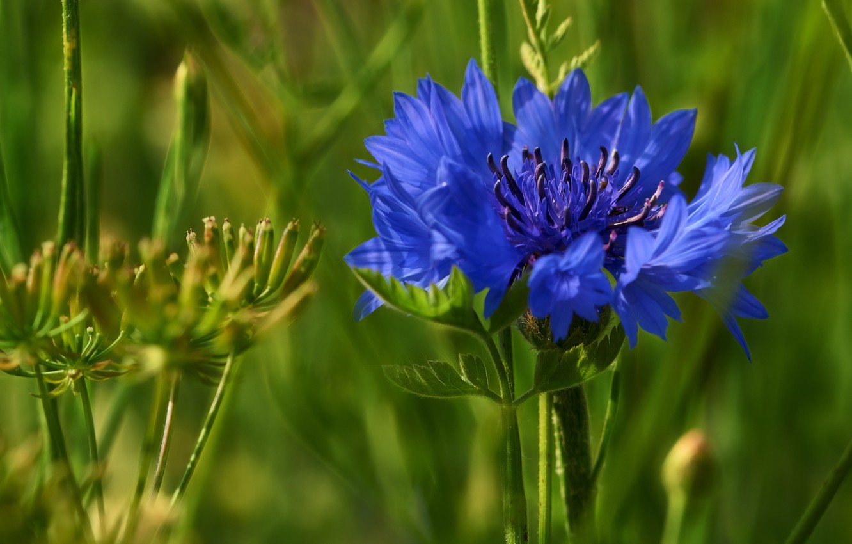 Фото обои цветок, макро, василек, полевой цветок