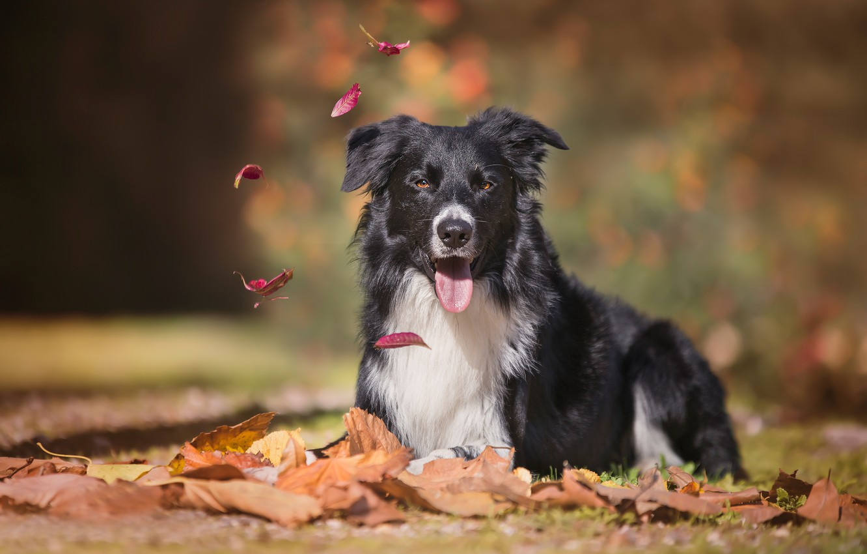 Фото обои осень, язык, взгляд, листья, собака, боке, Бордер-колли