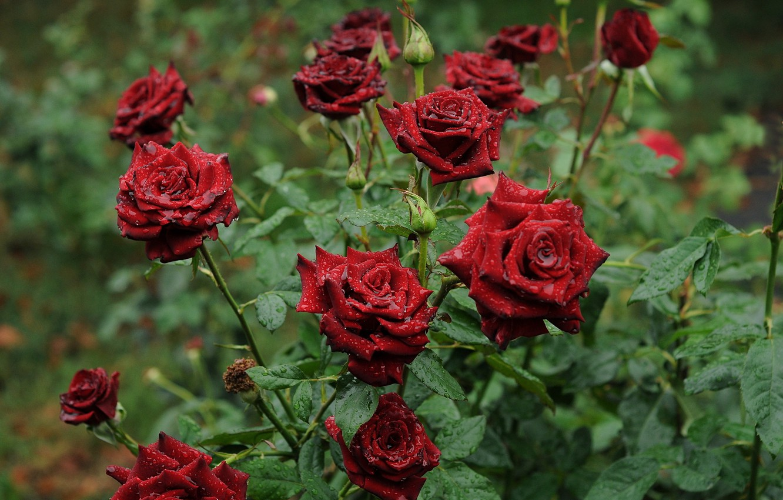 Фото обои цветы, роса, роза, утро, сад