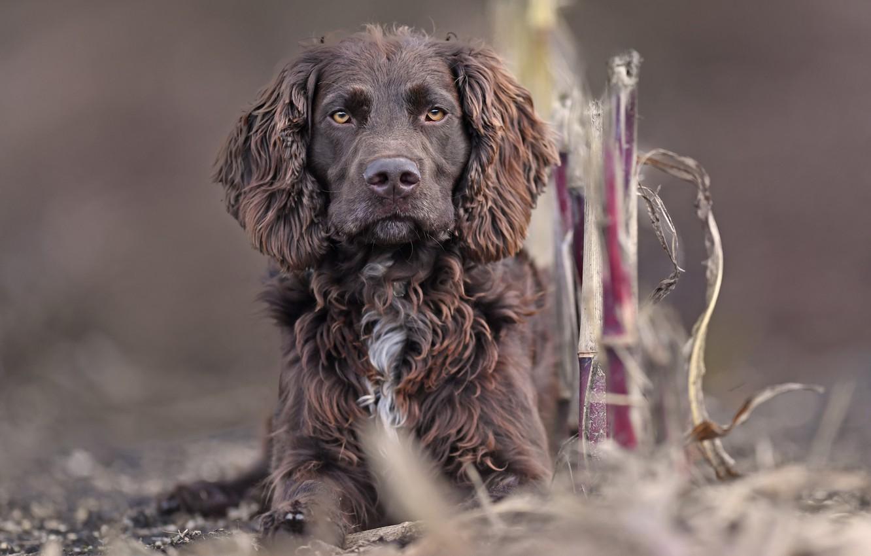 Фото обои Немецкий спаниель, Немецкая перепелиная собака, Немецкий вахтельхунд