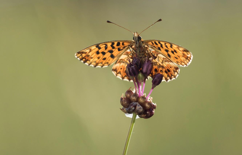 Фото обои бабочка, растение, крылья, стебель, насекомое