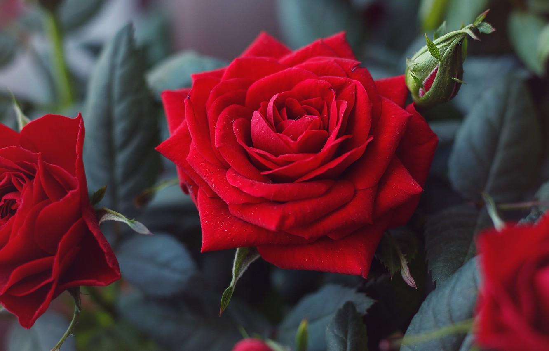 Обои цветок, красная. Цветы foto 17