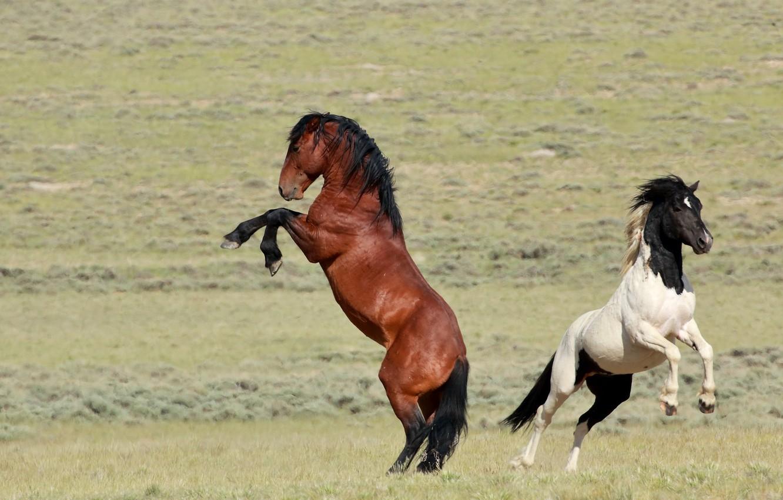 Фото обои кони, мощь, лошади, пара, грация, дикие, гнедой, пегий