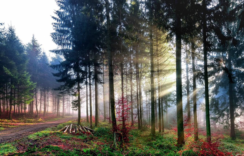 Фото обои лес, лучи, свет, деревья