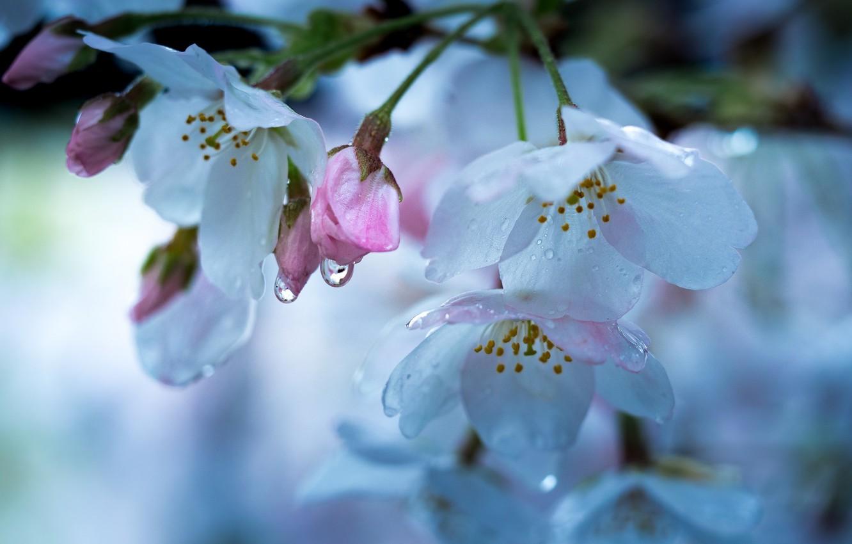 Фото обои капли, макро, вишня, весна
