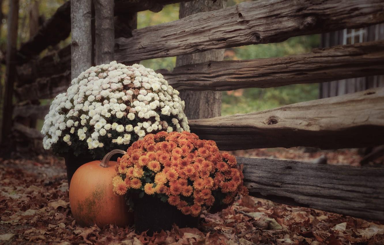 Фото обои осень, листья, забор, тыква, хризантемы