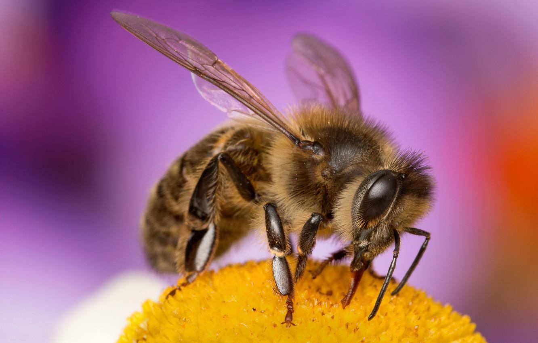 Обои насекомое, цветок, пчела. Макро foto 10