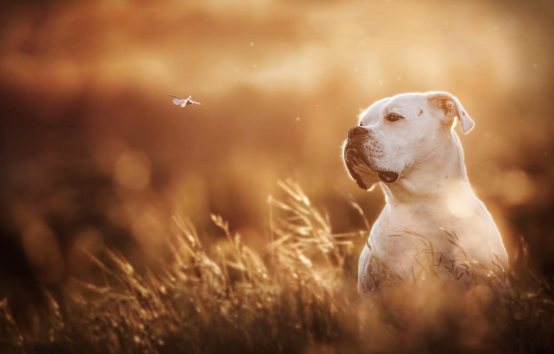 Фото обои белый, собака, стрекоза, боке, боксёр