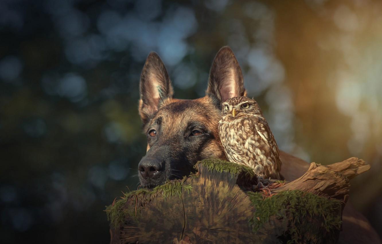 Фото обои животные, природа, фон, сова, птица, пень, портрет, собака, дружба, друзья, боке, бельгийская овчарка