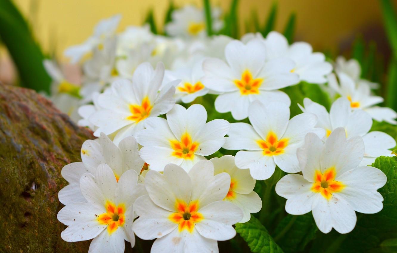 Фото обои Весна, Spring, Цветение, примула, Flowering, Primula