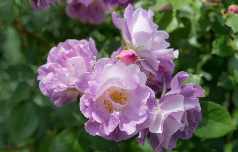 Фото обои макро, розы, лиловый