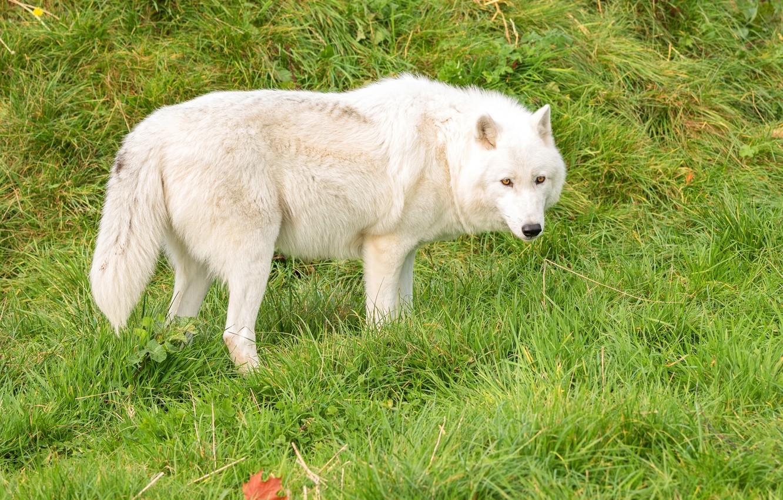 самые белый волк фото и картинки крем