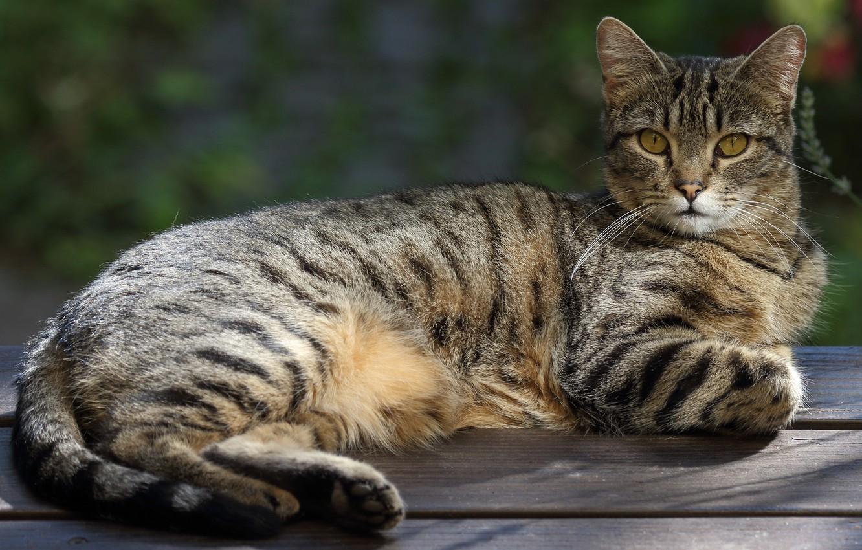 Фото обои кошка, кот, взгляд, скамейка, природа, поза, серый, фон, доски, лежит, полосатый, чувство собственного достоинства