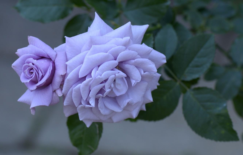 Фото обои цветок, макро, роза, куст, лепестки, бутон