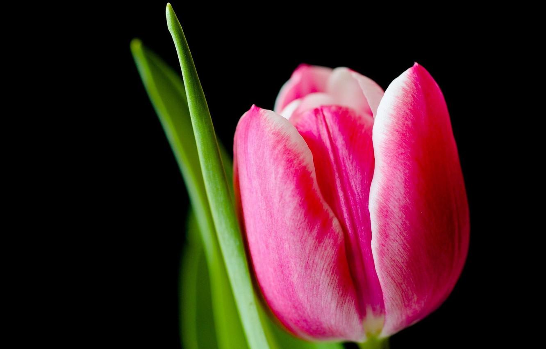 Фото обои макро, тюльпан, весна, лепестки