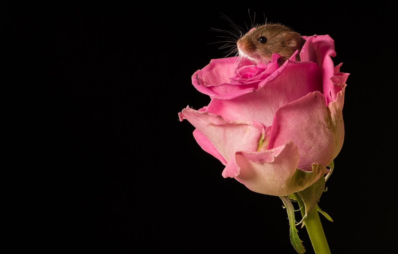 Фото обои цветок, макро, роза, бутон, мышка, чёрный фон, грызун, Мышь-малютка